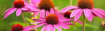 Echinacea plant